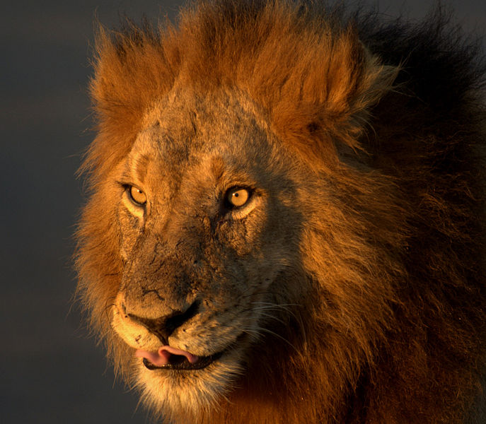 The Lion is one of Africa's most Iconic Animals