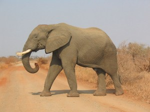 An African Elephant in the Kruger National Park